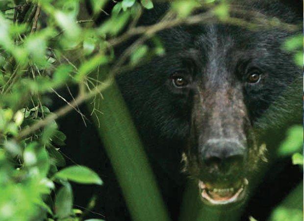 A bear in the bush