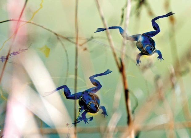 """""""Floating Wood Frogs"""" by Kelly Clampitt"""
