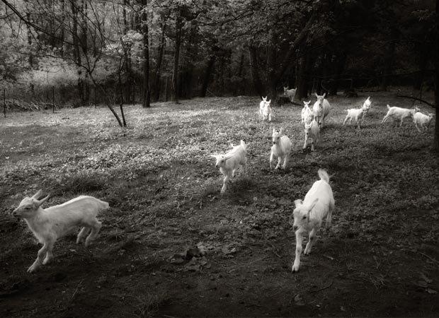 """""""Gotta Goat"""" by Frederica Georgia. Category Winner – Flora & Fauna."""