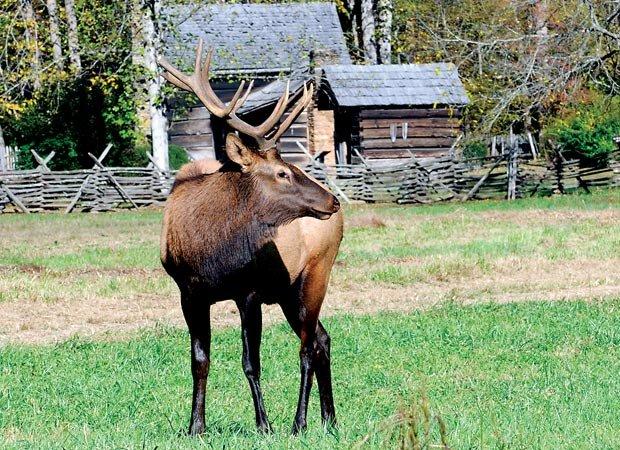 The elk return