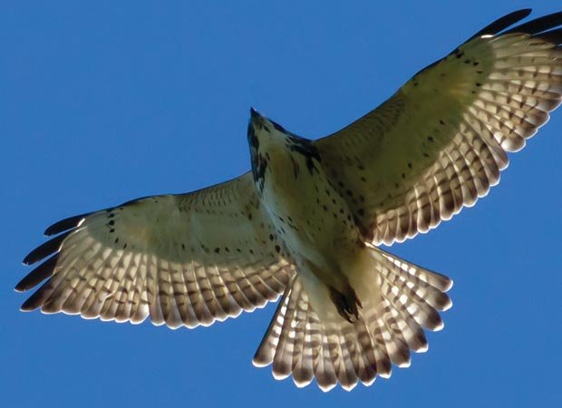 Like a hawk