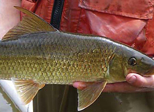 The sicklefin redhorse fish