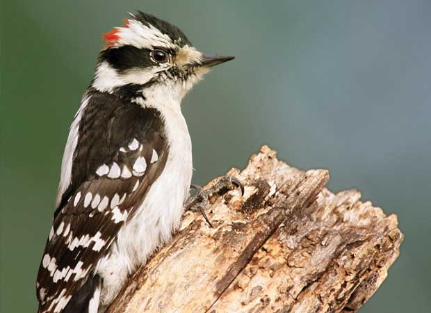downy_woodpecker.jpg