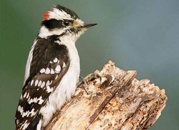downy_woodpecker.jpg