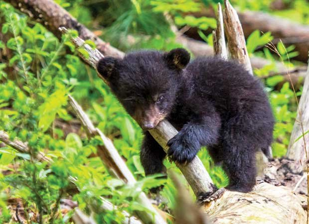 Bear cub in the Smokies