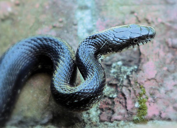 blacksnake