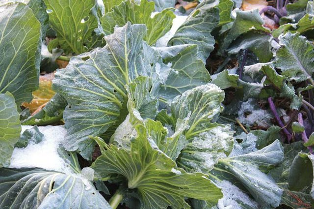 Finding Fresh Crops Under Winter's Snow