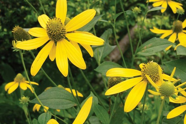 dept_coneflower.jpg