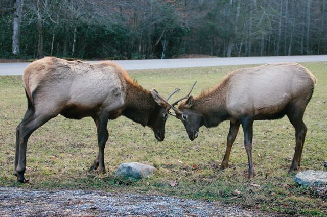 Twists and Turns to Rendezvous With Elk
