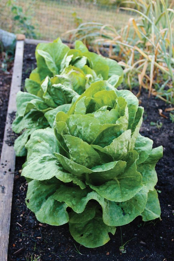 Grow Summer Vegetables