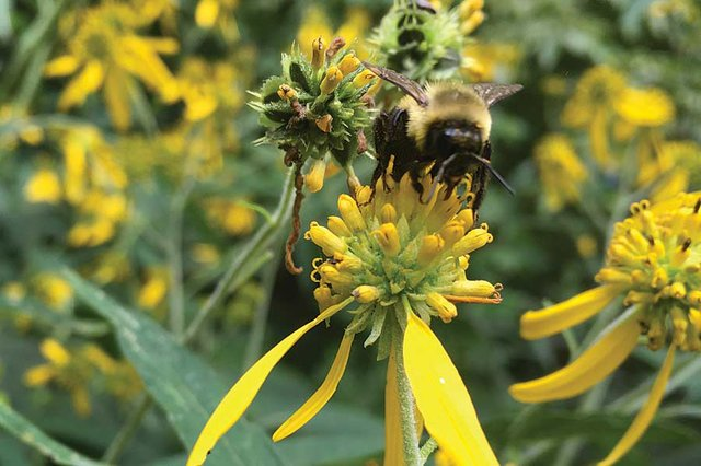 Bumble bee on wingstem