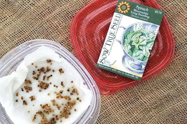The Art of Spinach Germination