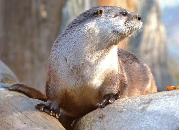 Otter in repose