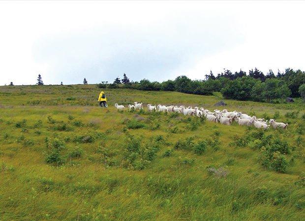 Roan Mountain goats