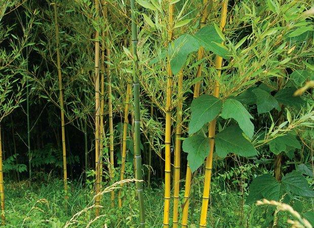 Image result for river cane