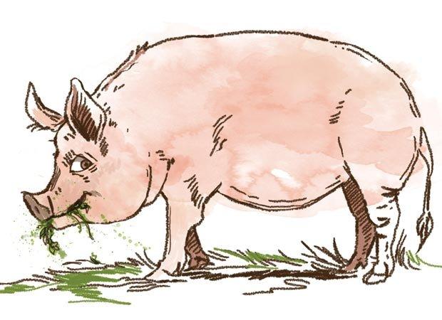 Hog eating weeds